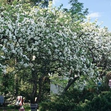 Rauni Lavinkosken puutarha