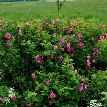 Korpijaakkojen maa- ja ruusutila