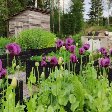 Korpikuusen puutarha