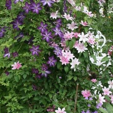 Räsänens clematisträdgård
