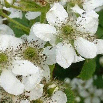 Kirsikkamäki