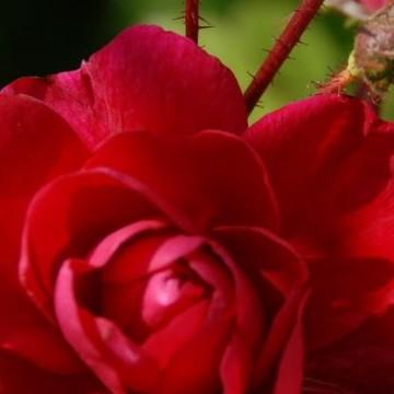 Maskun Rosarium