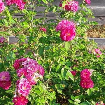 Kenttäläntien ruusupiha