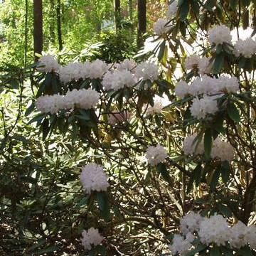 Rododendronparken i Haga