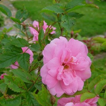 Ruusumuorin piha