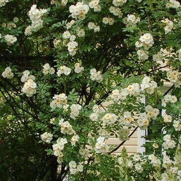 Björkelundin ruusutarha