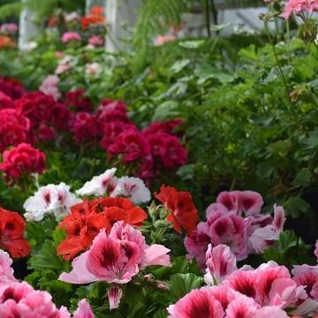Peltosen trädgård