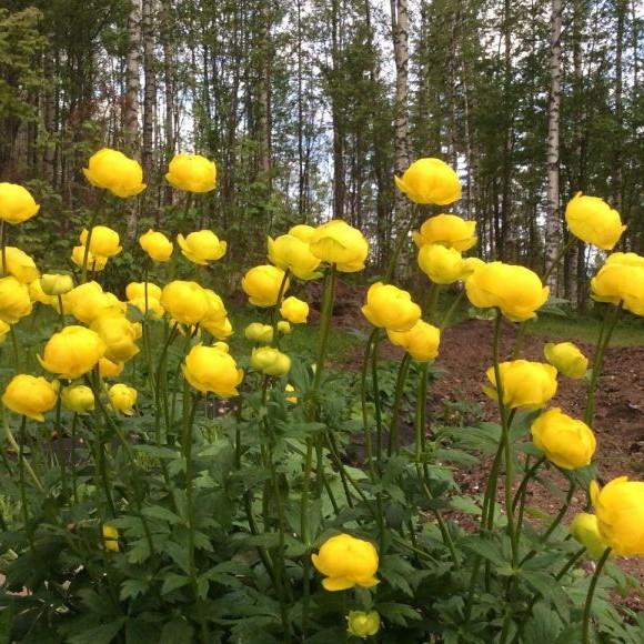 Pihlajarinteen puutarha