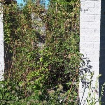 Kahdeksan riippapihlajan piha