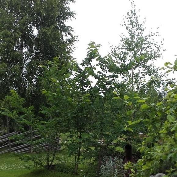 Markkina-ahon maalaispiha