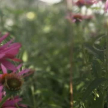 Karolinan puutarha