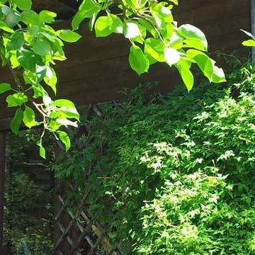 Lattomerern piilopirtti (Lattomeris lönnpörte)
