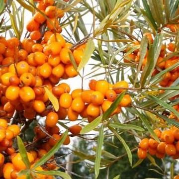 Fruticetum